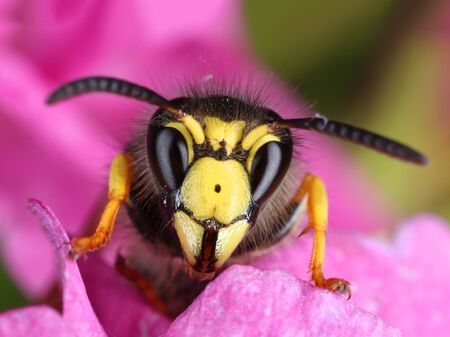 insect: Busy wasp peeking from a pink flower macro close-up Stock Photo