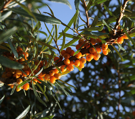 ocean plants: Common sea-buckthorn branch with yellow berries Stock Photo
