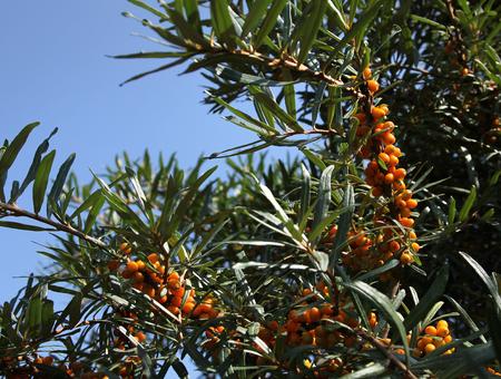 argousier: Common buisson argousier Banque d'images