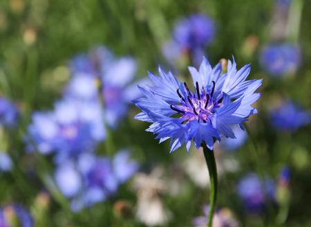 centaurea: Blue cornflower Centaurea cyanus blossoming on a meadow