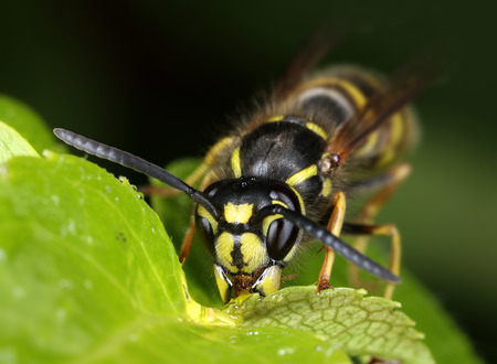 Busy wasp eating sweet nectar on green leaf macro close-up Фото со стока
