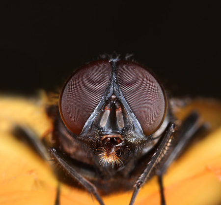 Housefly face compound eyes macro front view close-up Stock Photo