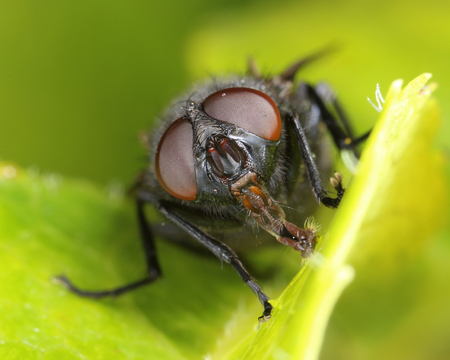 Housefly face front portrait on green leaf macro close-up