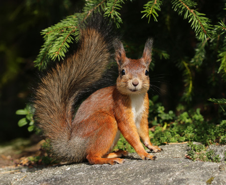 Happy red squirrel in natural forest environment