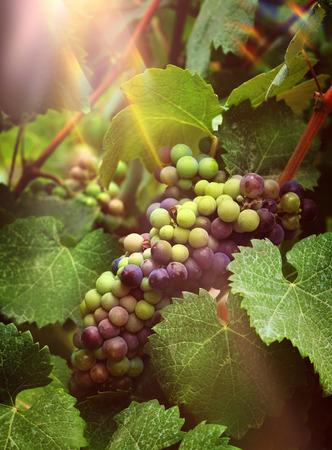 Fresh wine grapes harvest growing in vineyard sunlight