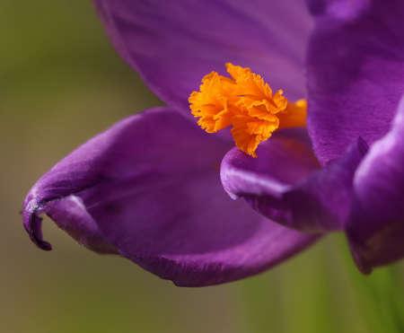 Purple and yellow crocus flower macro close-up Stock Photo