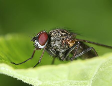 Red eyed fly on a green leaf, sharp details macro close-up Stock Photo