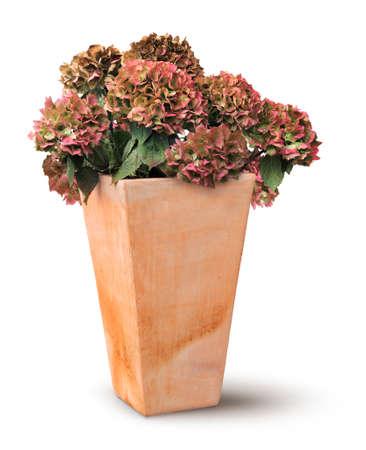 Decayed autumn hydrangea in old rectangular terracotta pot, isolated on white