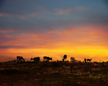Reindeer herd resting on fell top in Lapland midnight sun