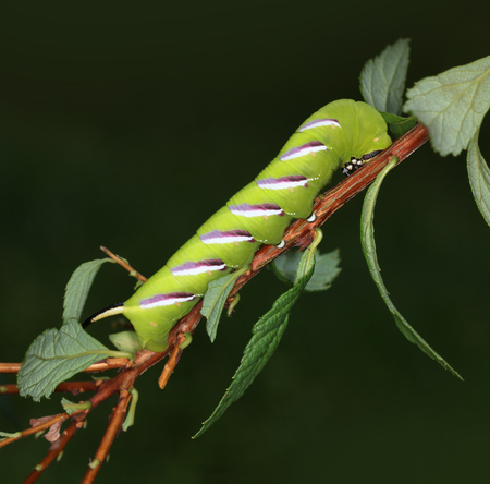 Privet-hawk moth caterpillar eating plant leaves macro close-up 版權商用圖片