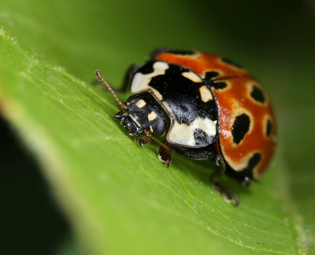 Eyed ladybird Anatis ocellata on green leaf macro close-up 版權商用圖片