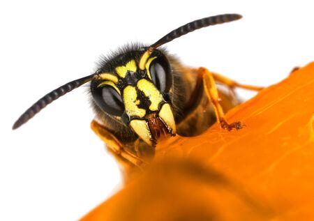 Wasp frontal face macro close-up Banco de Imagens