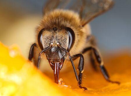 Comon honeybee feeding fruit front view macro close-up