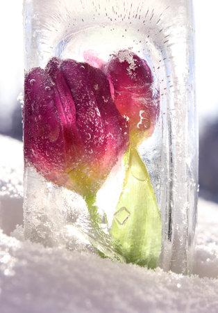 Purple red tulip flowers frozen, strong sunny winter day light through ice block Standard-Bild