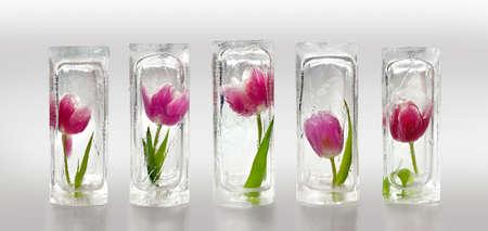 Five beautiful red and purple tulips frozen inside transparent ice cube blocks, decoration concept Standard-Bild