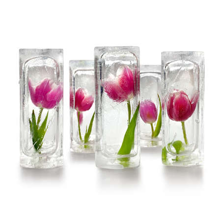 Five beautiful red and purple tulips frozen inside transparent ice cube blocks, decoration concept, white background