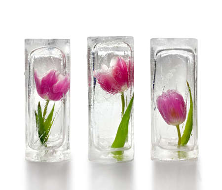 Three beautiful red and purple tulips frozen inside transparent ice cube blocks, white background, decoration concept