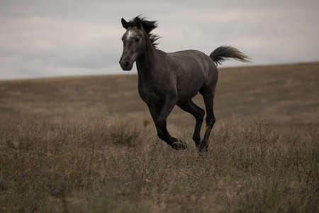 Wildes braunes Pferd auf dem laufenden Feld des Galopps Standard-Bild - 87439852