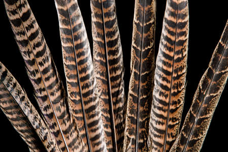Texture of pheasant tail feathers