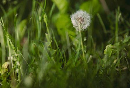 One white dandelion in the grass