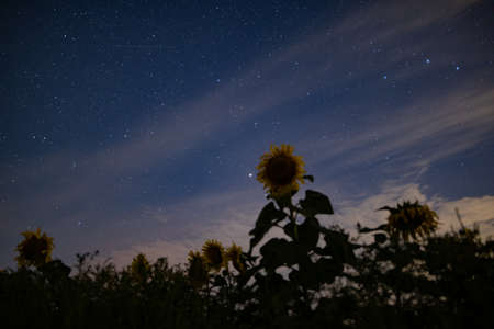 Sunflower field at night, astrophotography, stars on a sky