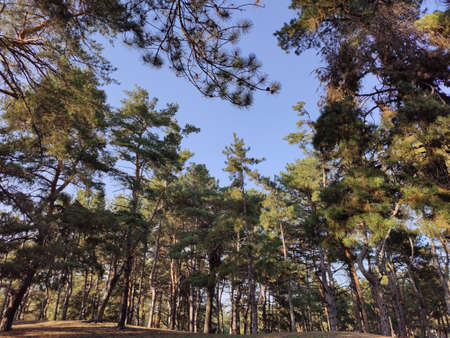 The top of natural green pine forest