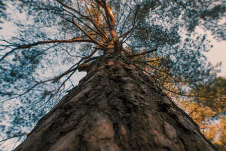 Moody pine tree trunk, bottom view, creative angle