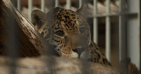 Leopard lying on tree trunk in a zoo behind cage Stock Photo