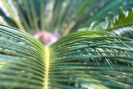 cycad: Cycad close up Stock Photo