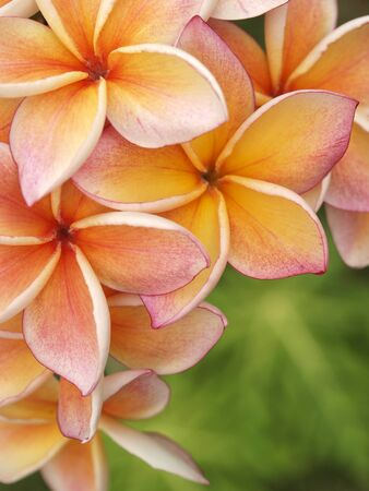 Plumeria flowers with green background photo