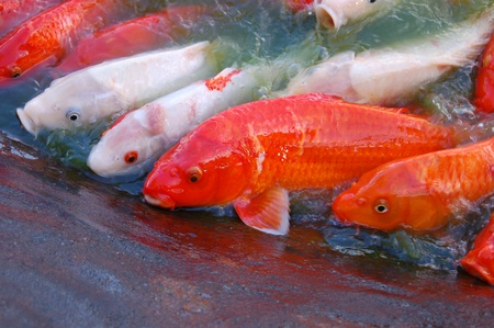Feeding Koi fish or carps photo