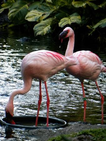 Island Flamingo