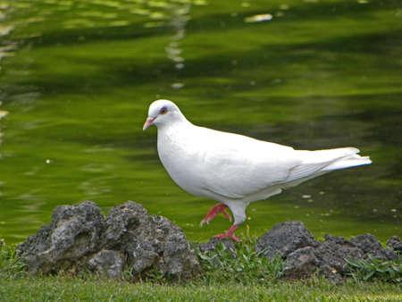 Prancing Pidgeon                        Stok Fotoğraf