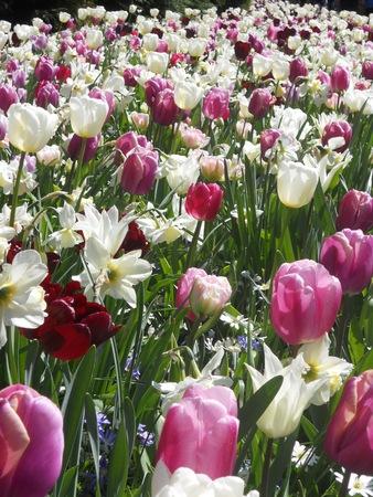 the netherlands: Tulips, Netherlands