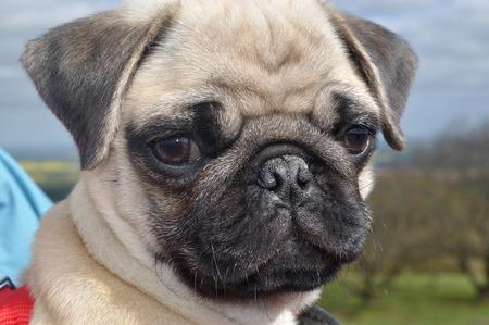 pug puppy: Pug Puppy Stock Photo