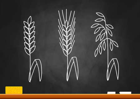 corn stalk: Drawing of cereals on blackboard