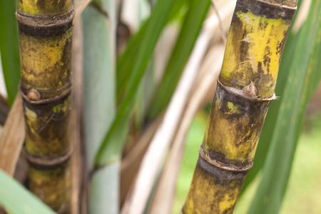Closeup of sugar cane plantation (sugarcane)