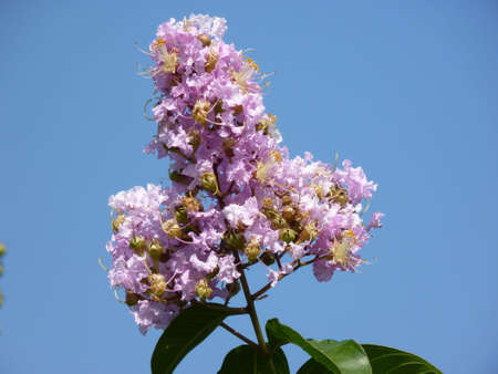 a pink crape myrtle against the blue sky