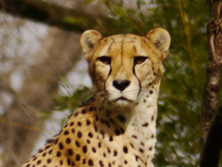 cheetah resting in the zoo Stock Photo - 12680114