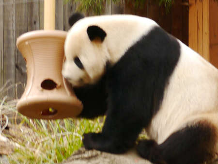 horizontals: a panda looking for something to eat