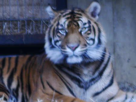 horizontals: tiger large cat