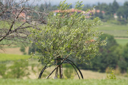 collina: olive tree on the hill