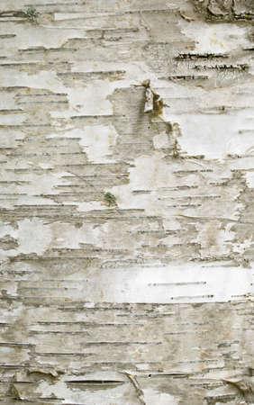 地衣類の斑点を持つシラカバ木樹皮クローズ アップ 写真素材