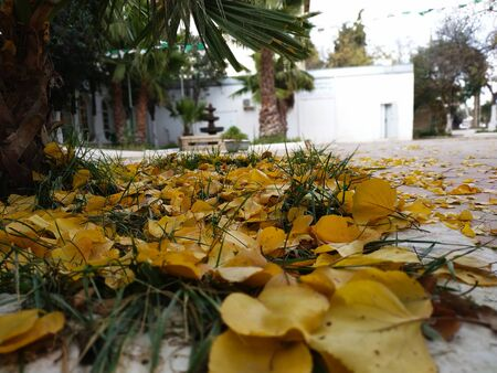 Yellow leaves on the ground in Algeria
