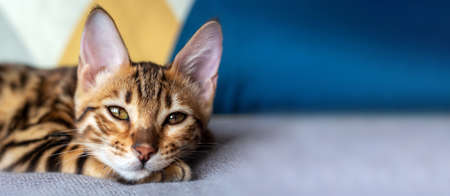 Young bengal cat is sleeping on the bed. Close-up photo. Selective focus. Banner format. Copy space.