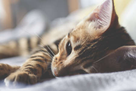 Young bengal cat is sleeping on the bed. Close-up photo. Selective focus.