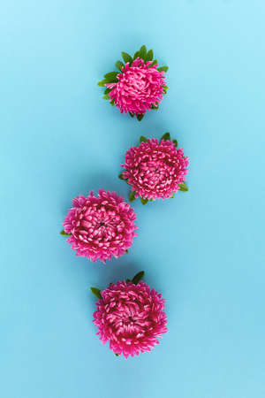 Beautiful bright pink aster flowers on blue background. Vertical layout. Top view.