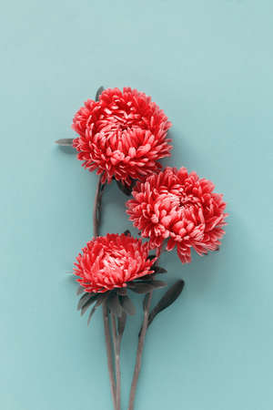 Several beautiful bright red aster flowers gathered in a bouquet on blue background. Top view. Reklamní fotografie