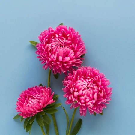 Beautiful bright pink aster flowers on blue background. Horizontal . Top view. Banner format.