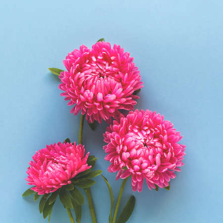 Beautiful bright pink flowers on blue background. Square format. Top view.